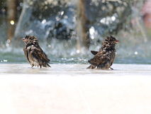 The wet sparrows. Two shaggy, boggy sparrows bathed in the spring rain Royalty Free Stock Image