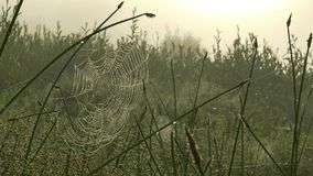 Spider web on grass on a foggy morning stock video
