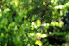 Wet spider web Stock Image