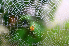Wet Spider Web. European garden spider waits for some food on its web stock photography