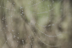 Wet spider web Stock Images