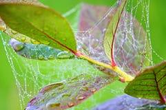 Wet spiders web Stock Photo