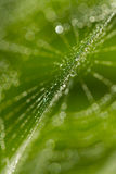 Wet spiderweb with waterdrops on a green background Royalty Free Stock Image