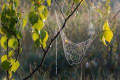 Wet spiderwebs with dew hanging on a birch branch Stock Photos