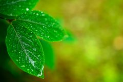 Wet spring leaves over defocused background Royalty Free Stock Images