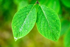 Wet spring leaves over defocused background Royalty Free Stock Photo