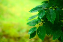 Wet spring leaves over defocused background Royalty Free Stock Photography