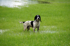 Wet Springer Spaniel Stock Images