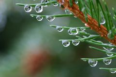 Wet spruce Royalty Free Stock Photography