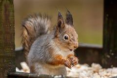Wet squirrel eats seeds Stock Photo