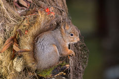 Wet squirrel Royalty Free Stock Images