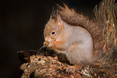 Wet squirrel Stock Photography