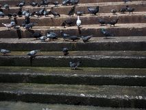 Wet of stair at riverside with group of pigeons Royalty Free Stock Photography