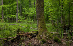 Wet stand of Bialowieza Forest with alder tree Stock Image
