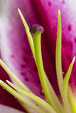 Wet Stargazer Lily Flower Royalty Free Stock Images