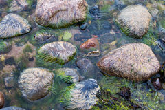 Wet stones with algae. Algae on the rocks at low tide Stock Photography