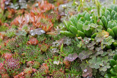 Wet Succulent plant after the rain - hen and chicks and Creeping. Soft focus of wet Succulent plant after the rain - hen and chicks and Creeping wood sorrel Royalty Free Stock Photos
