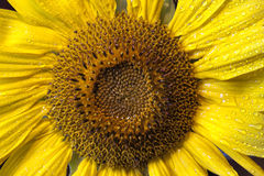 Wet sunflower. Stock Photo
