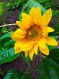 Wet sunflower Stock Photography