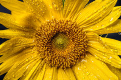 Wet sunflower macro image. Royalty Free Stock Image