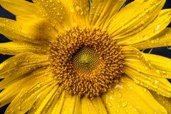 Wet sunflower macro image. Royalty Free Stock Image