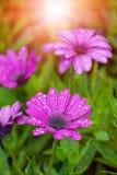 Wet sunny daisy flower Royalty Free Stock Photos