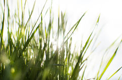 Wet sunny grass Stock Images