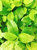 Wet sunny green leaves Royalty Free Stock Photography