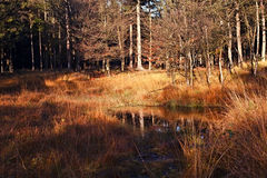 Wet swamp in the autumn forest Royalty Free Stock Images