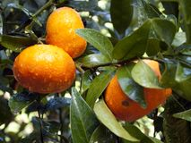Wet tangerines on the tree Stock Photo