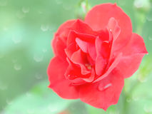 Wet tender red rose flower with rain drops Royalty Free Stock Image