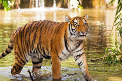 Wet tiger Royalty Free Stock Photography