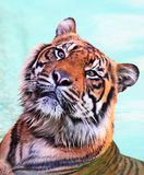 Wet Tiger Stock Photography