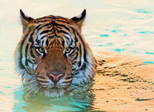 Wet Tiger. Curious striped cat with pale blue background stock photography