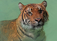 Wet Tiger Royalty Free Stock Photos