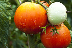 Wet tomato. Organic red wet tomato on the plant after the rain Stock Photography