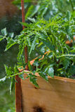 Wet tomato plant Stock Image