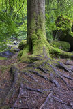 Wet tree trunk and green moss in forest close-up Royalty Free Stock Images