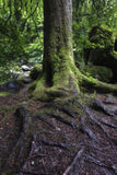 Wet tree trunk and green moss in forest close-up Royalty Free Stock Photo