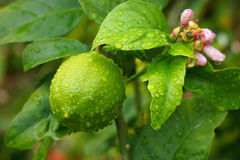 Wet trees leaves Lemon. There were two lemon trees and I paused to enjoy their perfume Royalty Free Stock Photography