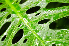 Wet Tropical Green Leaf. Monstera Leaf in Close-up Royalty Free Stock Photography