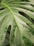 Wet tropical leaf. Big tropical leaf with drops of water Royalty Free Stock Images