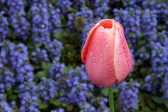 Wet Tulip in a Colorful Setting. A salmon pin tulip, covered with drops of rain water is backed by violet purple ajuga flowers in a perennial flower garden in Stock Photos