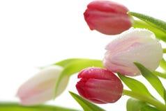 Wet tulip flowers closeup Stock Photography