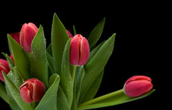 wet tulips Royalty Free Stock Photography