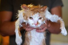 Wet and unhappy cat in human hands after bathing Royalty Free Stock Images