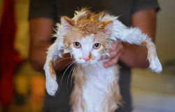 Wet and unhappy cat in human hands after bathing Royalty Free Stock Image