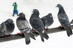 Wet urban pigeons are sitting on the crossbar during a snowfall on a blurred background with walking people. Selective focus stock photo