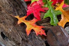 Wet Vibrant Autumn leaves on driftwood Stock Photos