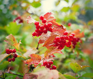 Wet viburnum berries Stock Photos